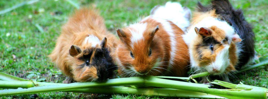 Wat is nu het verschil tussen knaagdieren en konijnen?