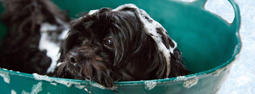 Hond badderen ter bestrijding van vlooien