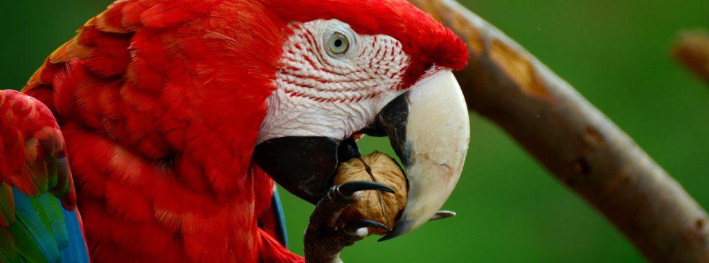 Het vermaken van papegaaien, een veel besproken onderwerp. Maar waar doe je goed aan? Als je al papegaaien in huis hebt weet je hoeveel aandacht zij op kunnen eisen. Wanneer je van plan bent een papegaai aan te schaffen is het goed te weten wat voor aandacht zij nodig hebben.