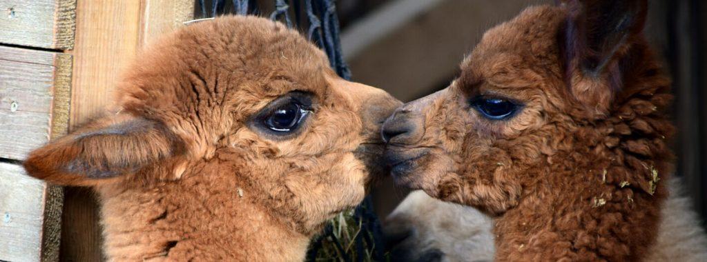 De alpaca als huisdier houden