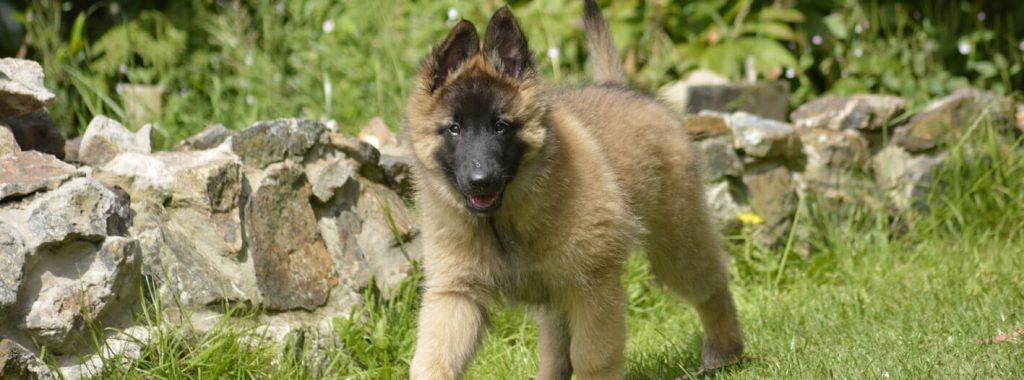 Groeipijn bij puppy's
