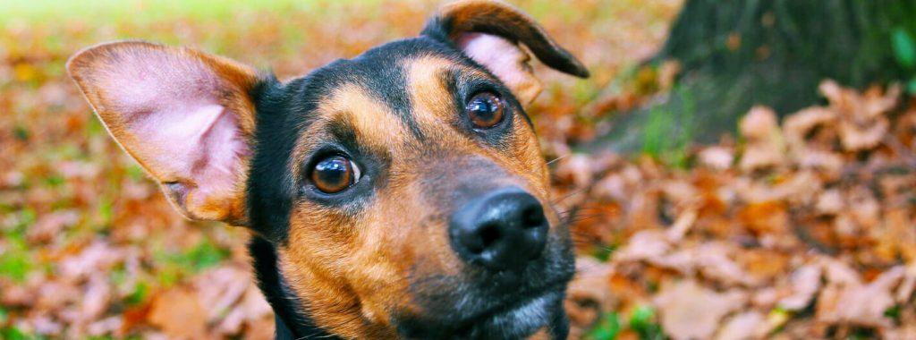 Oorverzorging bij hond en kat