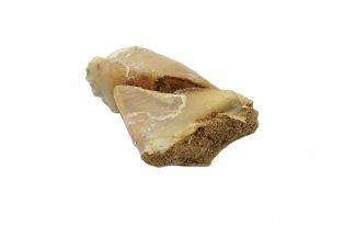 De kalfshoef met Rendier zijn smakelijke kalfshoefjes voor iedere hond. Je hond zal genieten van deze gezonde snack van rendier en hoef. Erg lekker en goed voor het gebit. De hoeven zijn erg stevig en geven je hond daardoor extra lang kauwplezier!