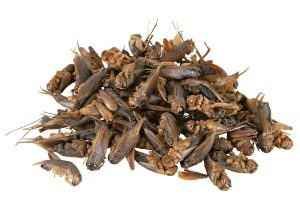 De Trixie gedroogde krekels zijn een perfecte aanvulling op het levende voer! Daarnaast zijn de krekels proteïnerijk en daardoor ook nog eens een gezonde aanvulling.