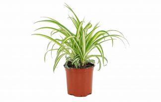 Chlorophytum Comosum Variegatum kattengras is een plant die erg geliefd is door de behoefte van katten aan foliumzuur. Foliumzuur zorgt ervoor dat het lijf hemaglobine aanmaakt en daardoor zuurstof door het lichaam vervoert.