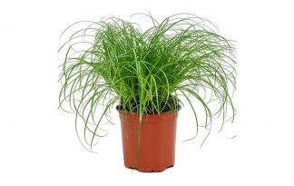 Cyperus Alternifolius Zumula kattengras is een plant die erg geliefd is door de behoefte van katten aan foliumzuur. Foliumzuur zorgt ervoor dat het lijf hemaglobine aanmaakt en daardoor zuurstof door het lichaam vervoert.