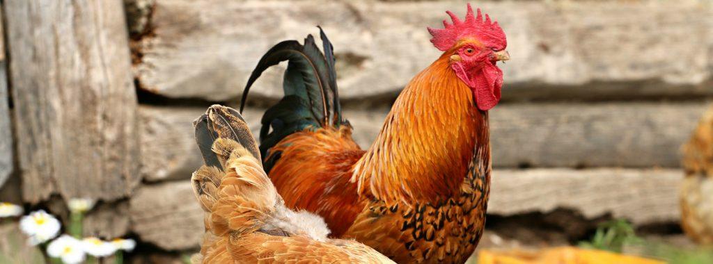 Checklist voor het houden van kippen (en ander pluimvee)