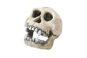 EBI Chimpansee schedel