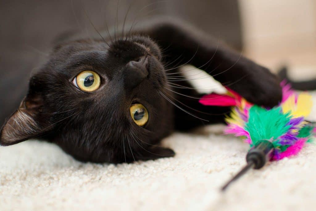 Meestal leren we onze honden veel trucjes en commando's, maar wist je dat dit ook bij katten kan? Hoe leuk is het als jouw kat straks het speelmuisje kan apporteren. Daar wil toch iedereen mee pronken!  In deze blog leggen wij het stap voor stap aan je uit!