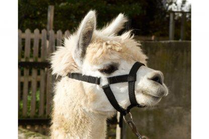 Kerbl alpaca halster