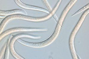 Koppert Capsanem aaltjes tegen bodemlarven