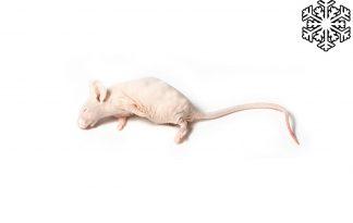 Diepvries muizen naakt