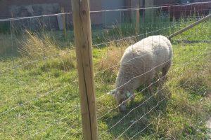 Weipalen met schapengaas